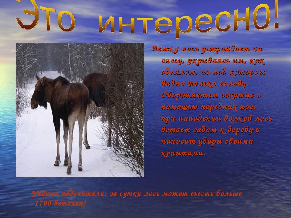 Лежку лось устраивает на снегу, укрываясь им, как одеялом, из-под которого ви...