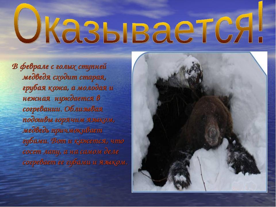 В феврале с голых ступней медведя сходит старая, грубая кожа, а молодая и неж...