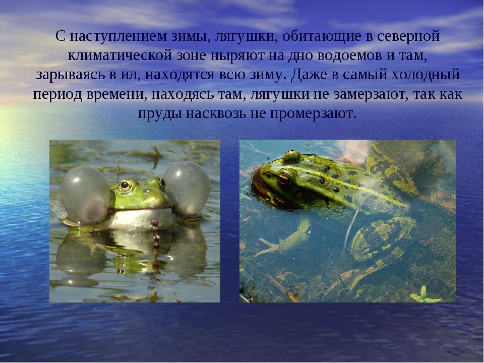 C наступлением зимы, лягушки, обитающие в северной климатической зоне ныряют...