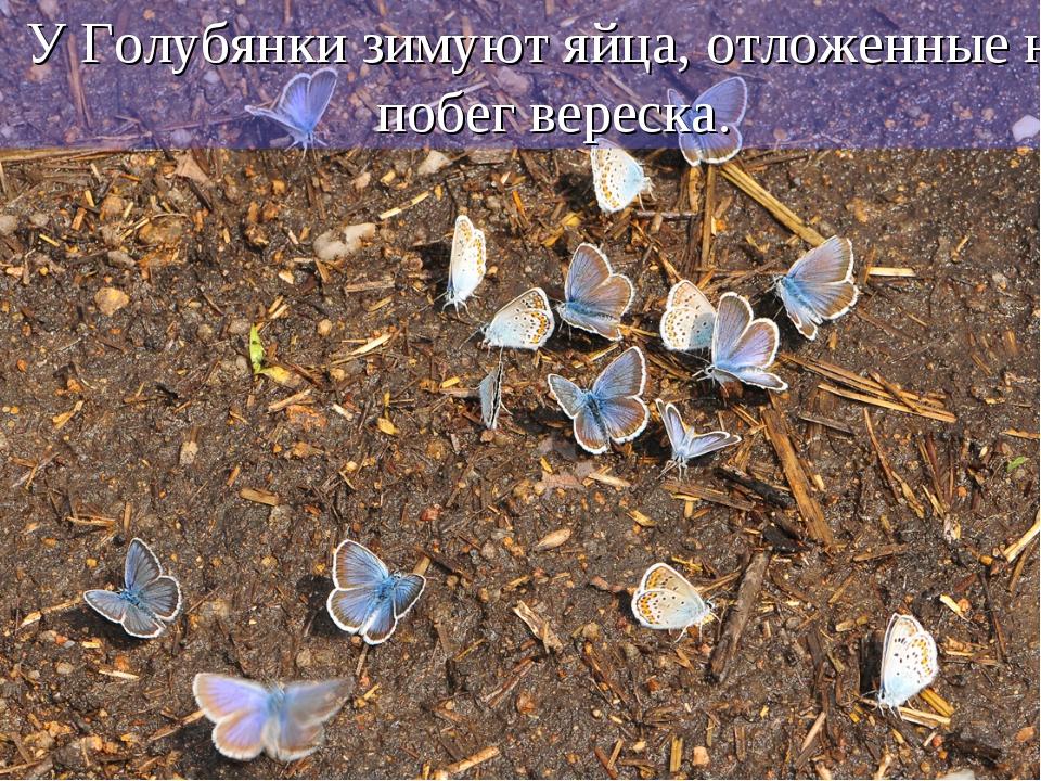 У Голубянки зимуют яйца, отложенные на побег вереска.