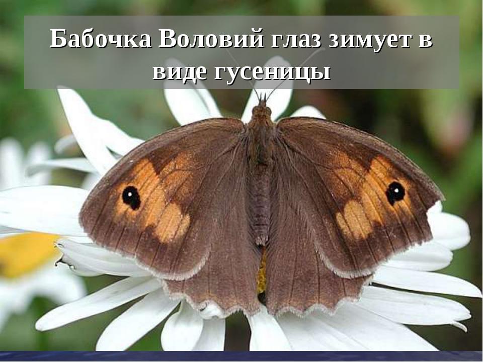 Бабочка Воловий глаз зимует в виде гусеницы