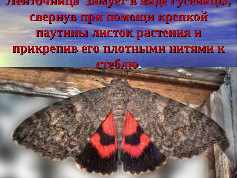 Ленточница зимует в виде гусеницы, свернув при помощи крепкой паутины листок...