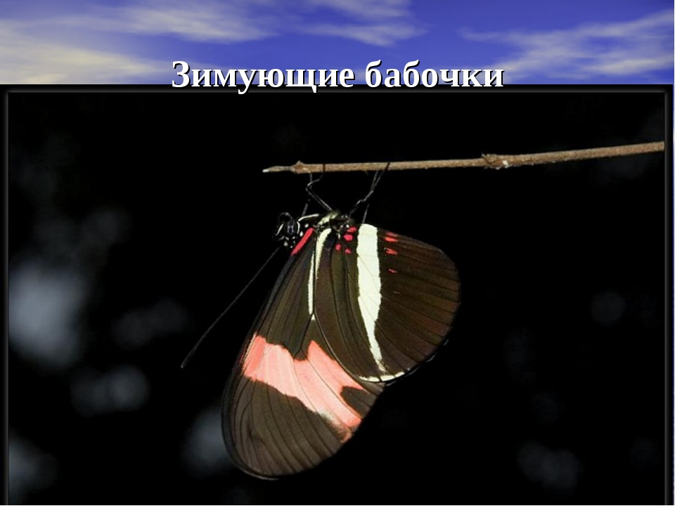 Зимующие бабочки