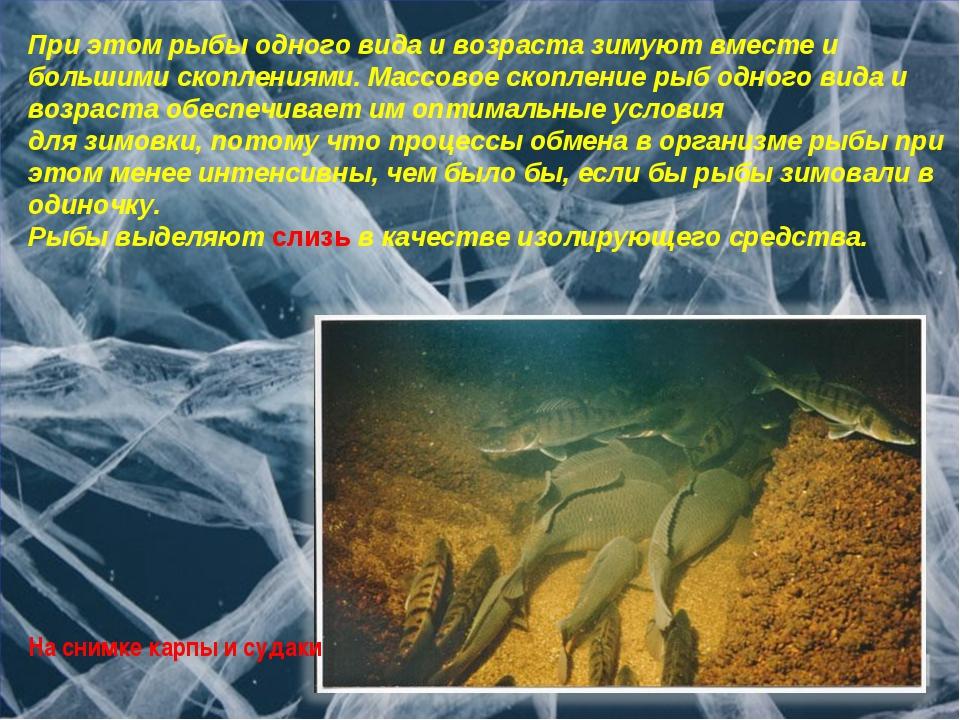 При этом рыбы одного вида и возраста зимуют вместе и большими скоплениями. Ма...