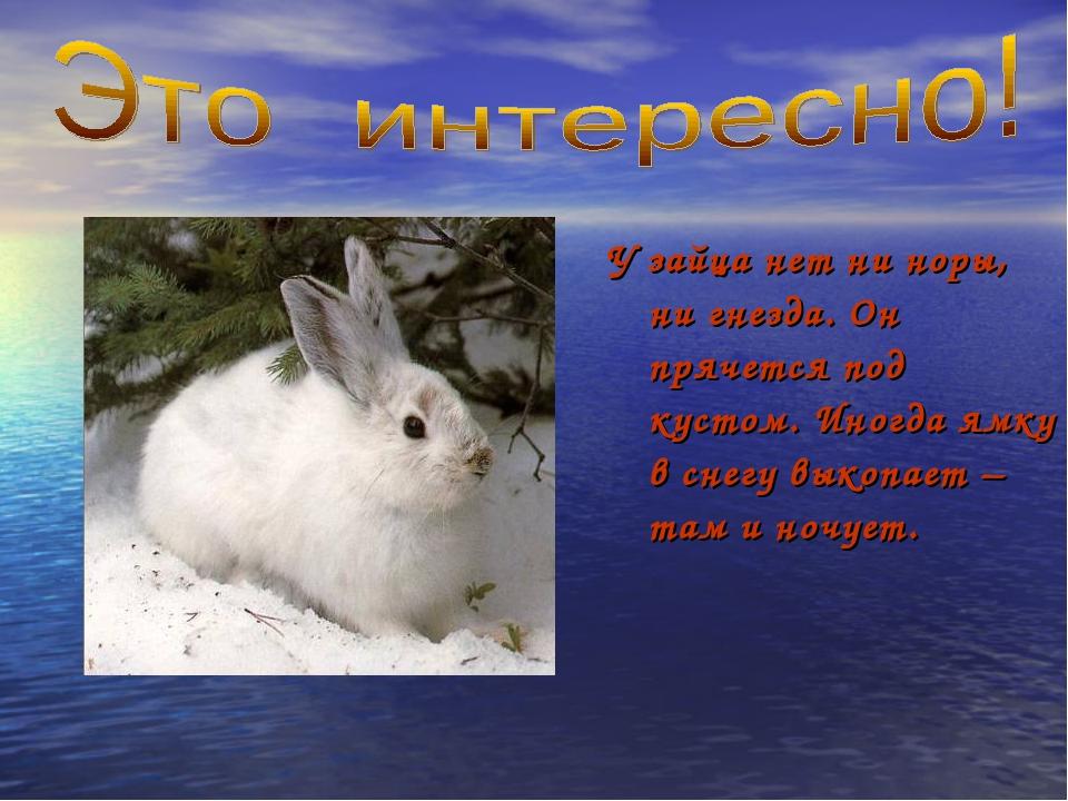 У зайца нет ни норы, ни гнезда. Он прячется под кустом. Иногда ямку в снегу в...