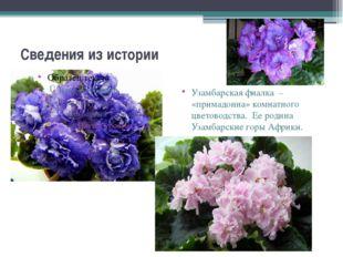 Сведения из истории Узамбарская фиалка – «примадонна» комнатного цветоводства