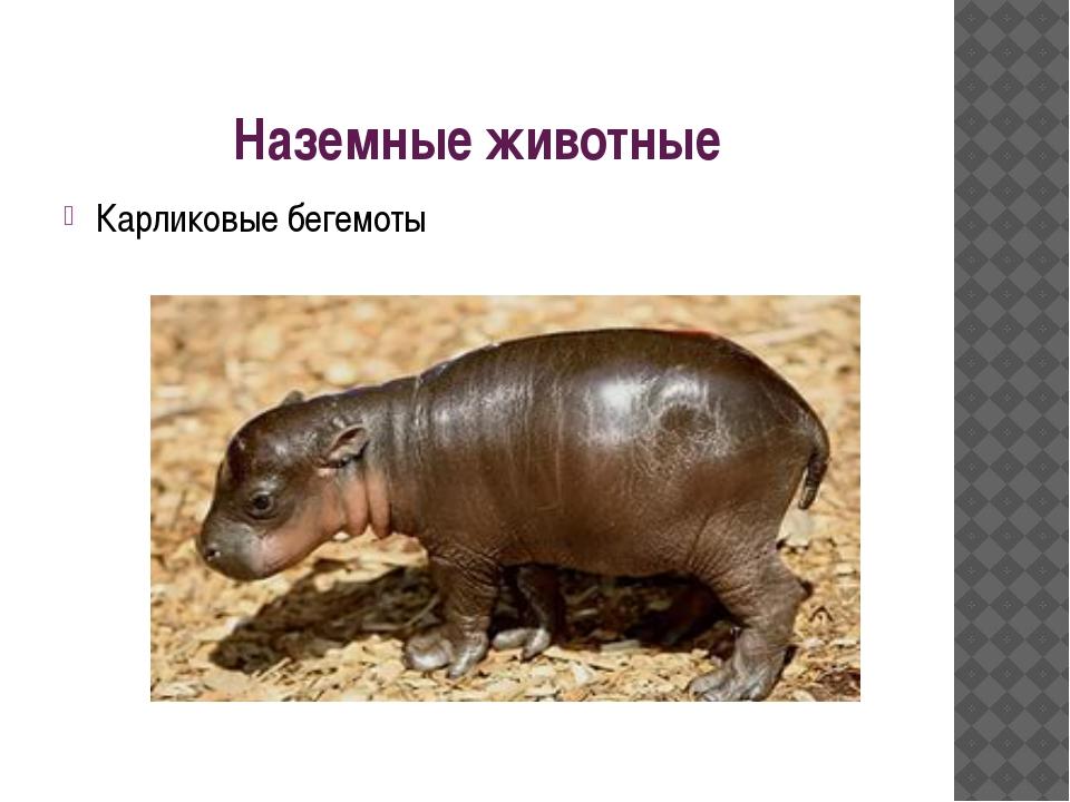 Наземные животные Карликовые бегемоты