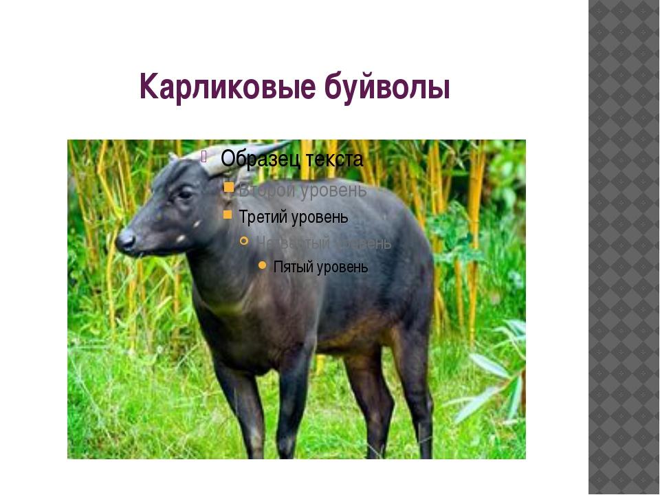 Карликовые буйволы