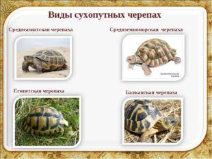 Виды сухопутных черепах * Среднеазиатская черепаха Средиземноморская черепаха