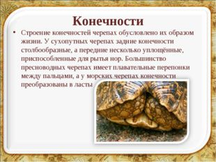 Конечности Строение конечностей черепах обусловлено их образом жизни. У сухоп