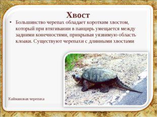 Хвост Большинство черепах обладает коротким хвостом, который при втягивании в