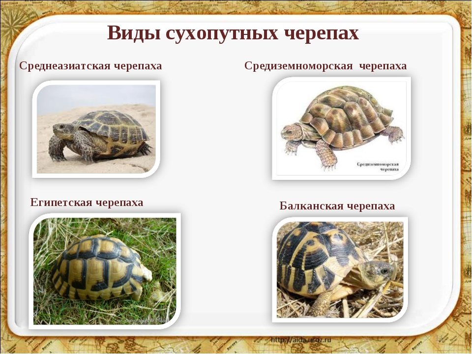Виды сухопутных черепах * Среднеазиатская черепаха Средиземноморская черепаха...