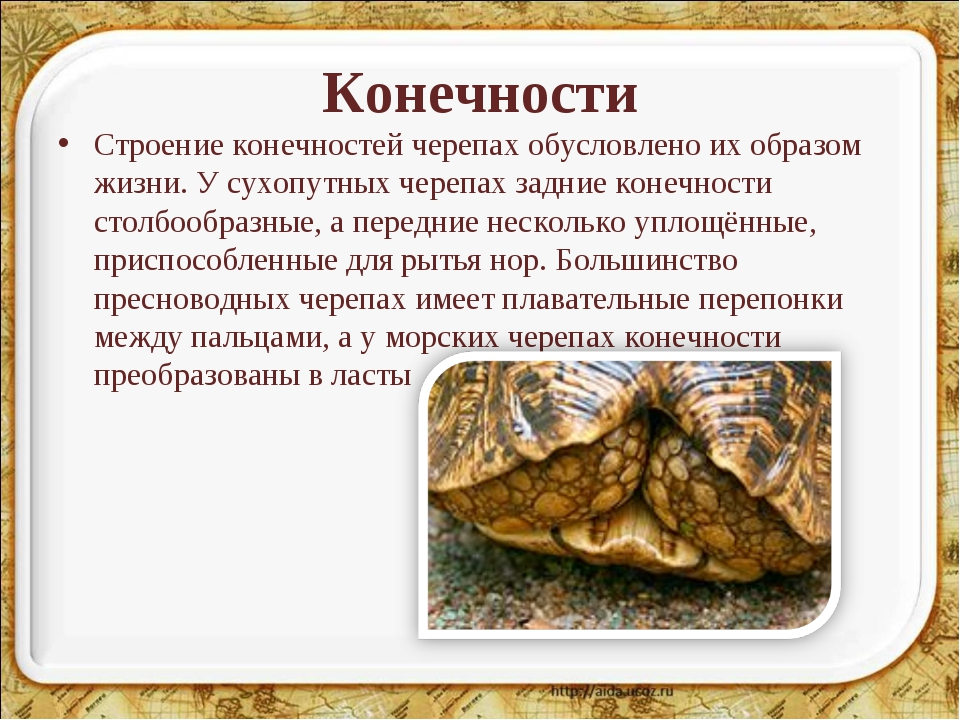 Конечности Строение конечностей черепах обусловлено их образом жизни. У сухоп...
