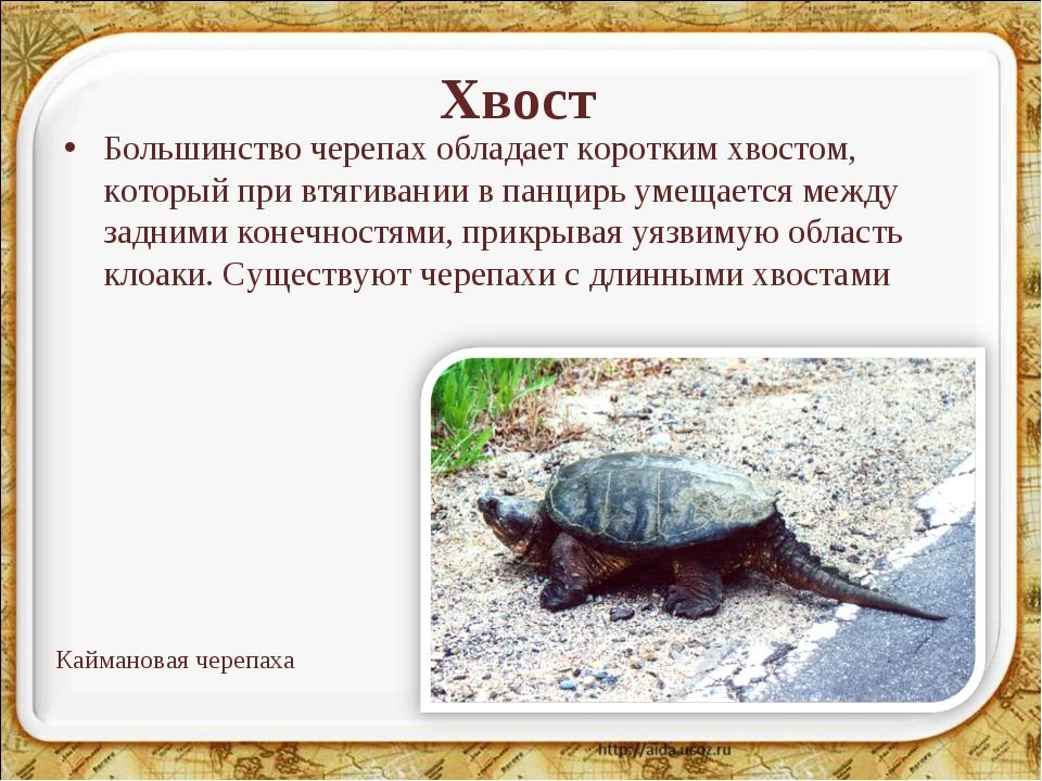 Хвост Большинство черепах обладает коротким хвостом, который при втягивании в...