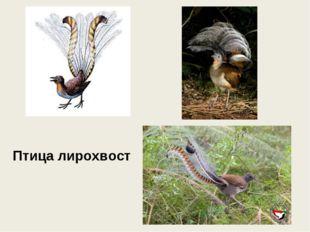 Птица лирохвост