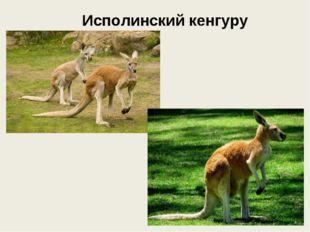 Исполинский кенгуру