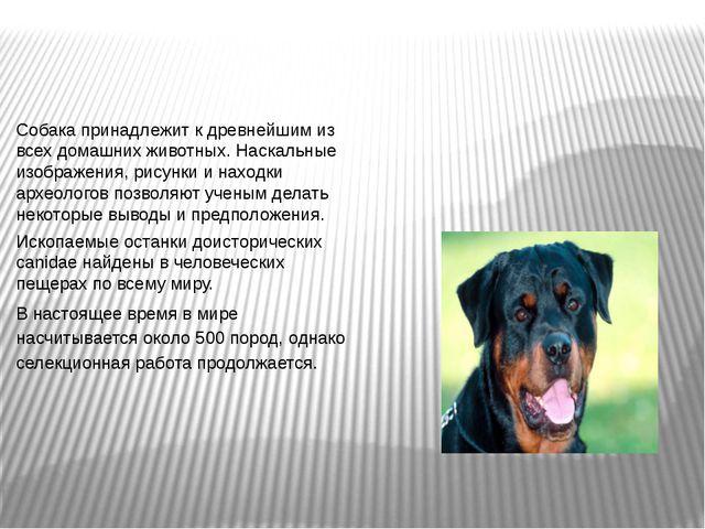 Собака принадлежит к древнейшим из всех домашних животных. Наскальные изображ...