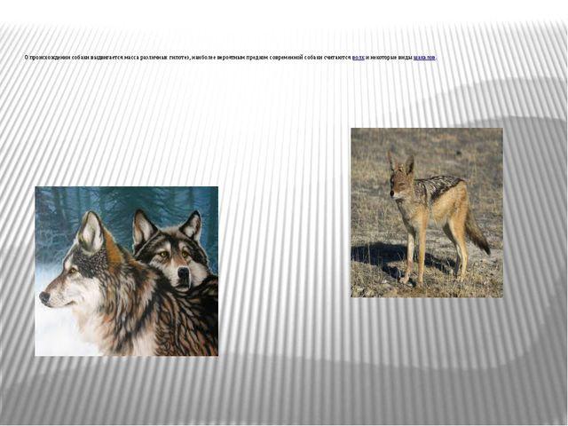 О происхождении собаки выдвигается масса различных гипотез, наиболее вероят...