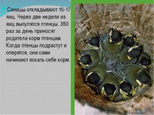Синицы откладывают 15-17 яиц. Через две недели из яиц вылупятся птенцы. 350 р