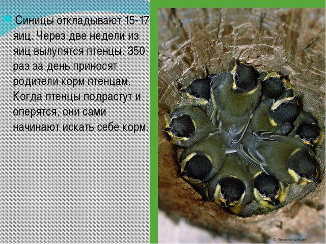 Синицы откладывают 15-17 яиц. Через две недели из яиц вылупятся птенцы. 350 р...