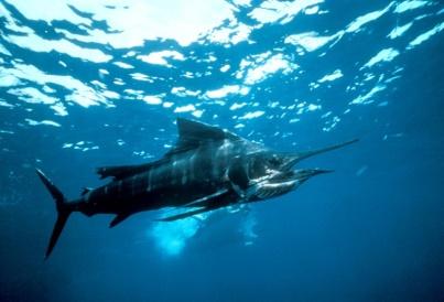 Самая быстрая рыба - парусник. Фото