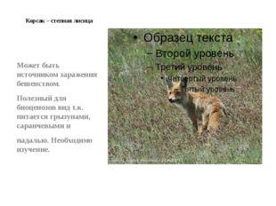 Корсак – степная лисица Может быть источником заражения бешенством. Полезный