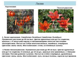Лилия Пенсильванская Карликовая 1. Лилия карликовая. Семейство Лилейные Семей