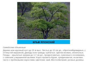ИЛЬМ ЯПОНСКИЙ Семейство Ильмовые Дерево или крупный куст до 25 м выс. Листья