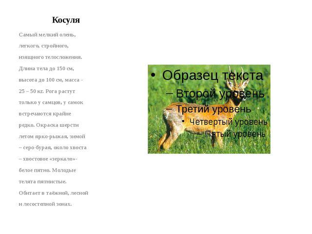 Косуля Самый мелкий олень, легкого, стройного, изящного телосложения. Длина т...