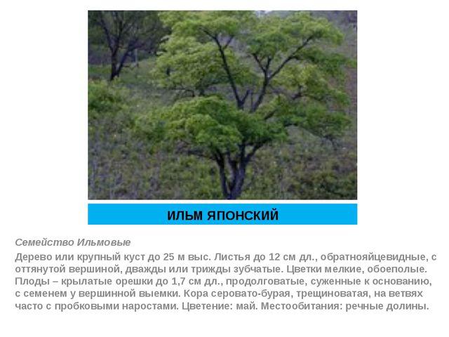 ИЛЬМ ЯПОНСКИЙ Семейство Ильмовые Дерево или крупный куст до 25 м выс. Листья...
