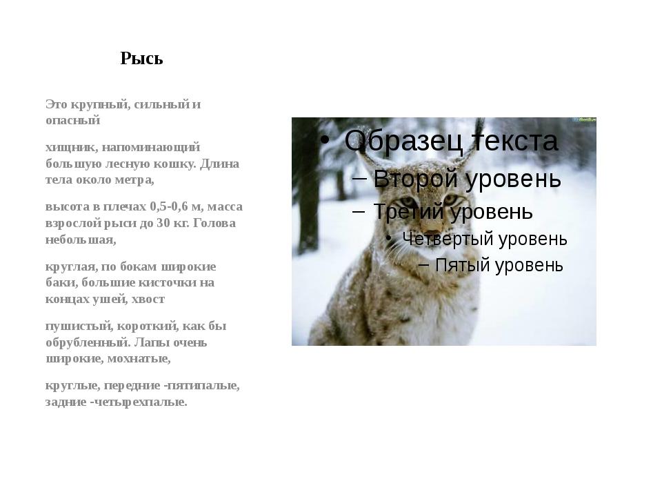 Рысь Это крупный, сильный и опасный хищник, напоминающий большую лесную кошку...