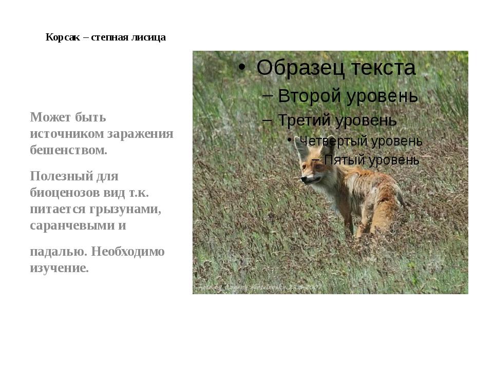 Корсак – степная лисица Может быть источником заражения бешенством. Полезный...