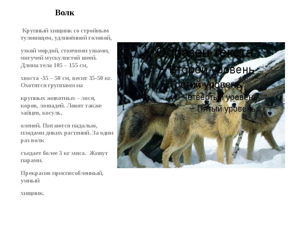 Волк Крупный хищник со стройным туловищем, удлинённой головой, узкой мордой,...