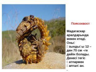 Поясохвост Мадагаскар аралдарында мекен етеді. Оның ұзындығы 12 –ден 70 см –