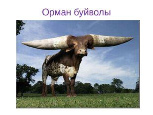 Орман буйволы