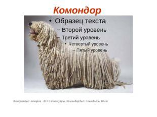 Комондор Венгриялық овчарка . Бұл үй жануары. Командордың ұзындығы 80 см