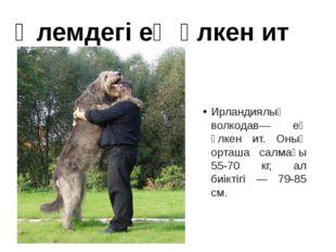 Ирландиялық волкодав— ең үлкен ит. Оның орташа салмағы 55-70 кг, ал биіктігі