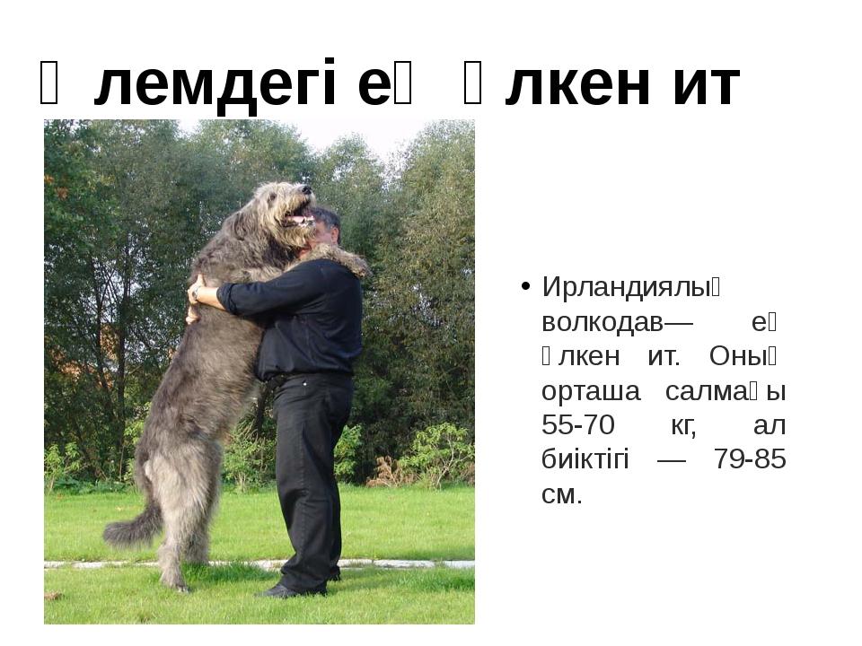Ирландиялық волкодав— ең үлкен ит. Оның орташа салмағы 55-70 кг, ал биіктігі...