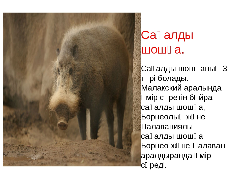 Сақалды шошқа. Сақалды шошқаның 3 түрі болады. Малакский аралында өмір сүреті...