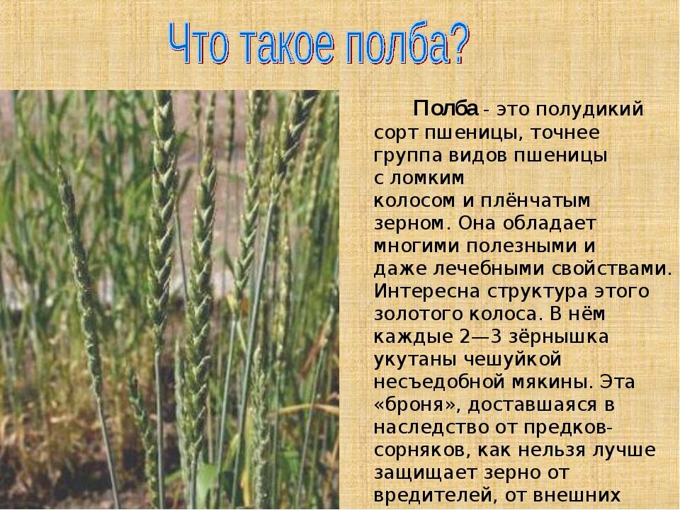 Полба- это полудикий сорт пшеницы, точнее группа видов пшеницы сломким кол...