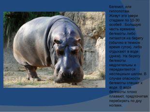 Бегемот, или гиппопотам. Живут эти звери стадами по 10-30 особей . Большую ча