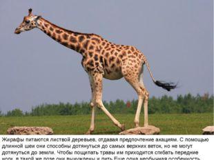 Жирафы питаются листвой деревьев, отдавая предпочтение акациям. С помощью дли