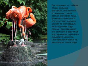 Все фламинго — стайные птицы, живущие большими скоплениями по несколько тысяч