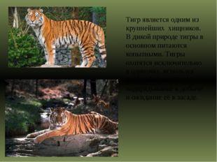 Тигр является одним из крупнейших хищников. В дикой природе тигры в основно