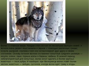 Волки — стайные звери. Каждая стая состоит из нескольких волчьих семей. У вол