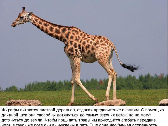 Жирафы питаются листвой деревьев, отдавая предпочтение акациям. С помощью дли...