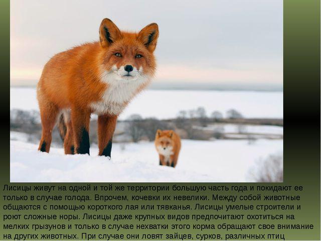 Лисицы живут на одной и той же территории большую часть года и покидают ее то...