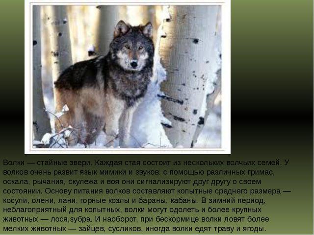 Волки — стайные звери. Каждая стая состоит из нескольких волчьих семей. У вол...
