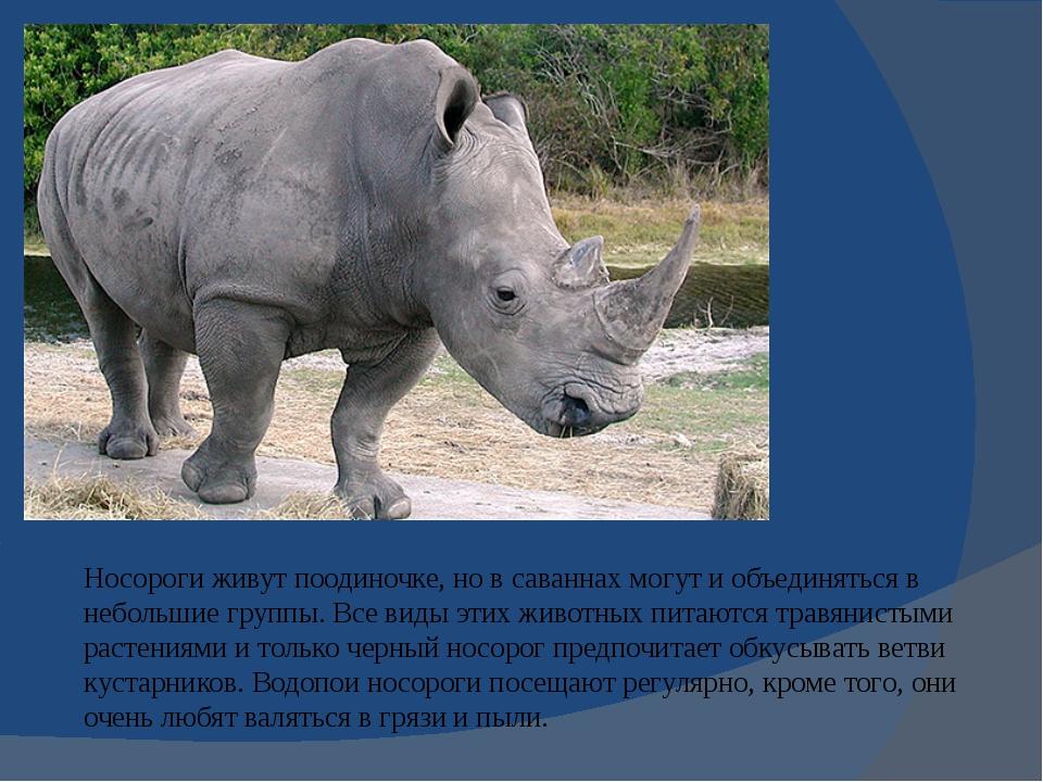 Носороги живут поодиночке, но всаваннах могут и объединяться в небольшие гру...