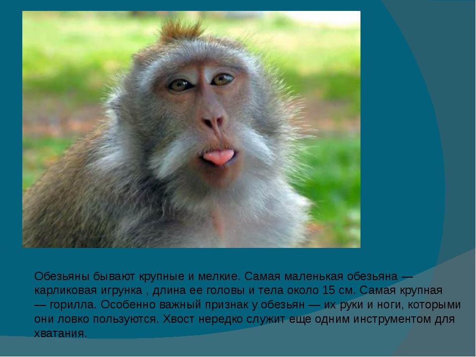 Обезьяны бывают крупные и мелкие. Самая маленькая обезьяна — карликоваяигрун...